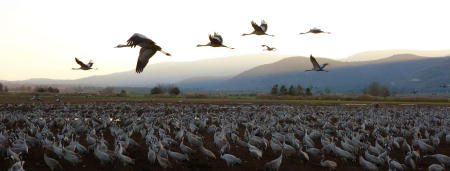 Bird Migration, Hula Valley